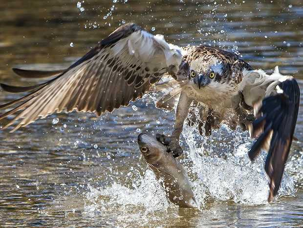 Possible award winning shot by Tony Cadell of an osprey at Fingal Head. Photo: Contributed