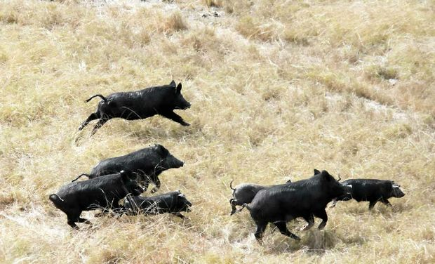 PIG PEST: Controlling wild pigs is just one on-farm biosecurity practice central Queensland farmers are undertaking.