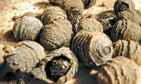 DUNG HO: Adult dung beetles emerging from capsules. A workshop was recently held on the North Coast to show farmers how the beetle can help improve soil quality.