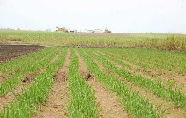 WEED CONTROL: Conditions of use of Diuron on cane crops has been restricted but not banned.