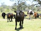 Cattle roam the O'Grady property at Seelands. After generations of farming, Bob O'Grady has retired from dairy farming.