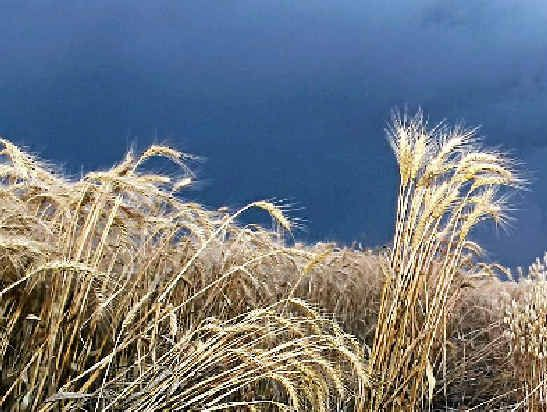 Last year's second place winner in the Agfarm harvest photo competition – Harvest Storm.