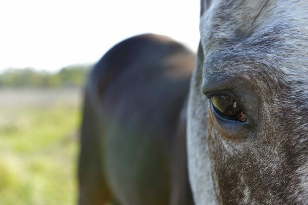 Rescue horse Chyanne grazes in a Thagoona paddock. Amanda Vella founded Save A Horse, a horse rescue and sanctuary charity who rescue poorly treated and emaciated horses from the slaughter yard. Photo: Claudia Baxter / The Queensland Times