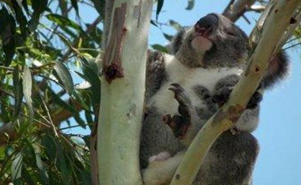 THERE are only two known male koalas left in Noosa National Park, wildlife rescuers say.