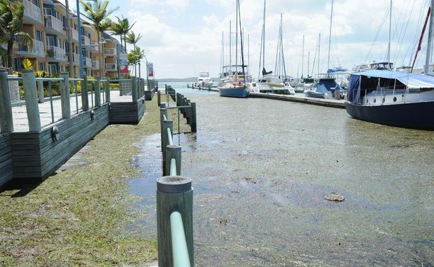 Seagrass is left behind on the boardwalk after the high tide in December at Great Sandy Straits Marina.