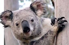 A koala protection group says the council has done nothing to save the endangered creature since a summit in August.
