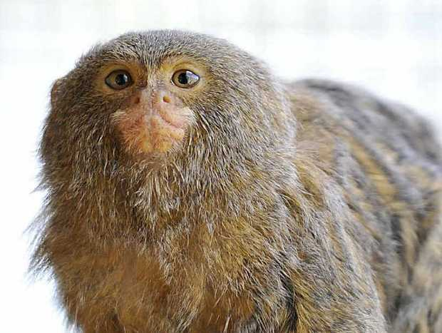 Six pygmy marmosets have arrived at Darling Downs Zoo.