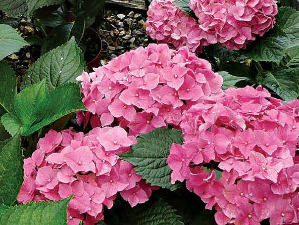 Hydrangeas make beautiful displays.