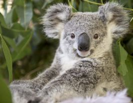 Government says Pacific Hwy koala bridges 'will work'