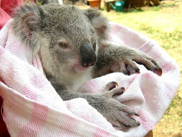 A baby koala on the outskirts of Maryborough was saved by wildlife rescuer and koala advocate Natalie Richardson.