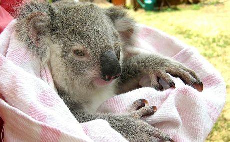 A baby koala on the outskirts of Maryborough was saved by wildlife rescuer and koala advocate Natalie Richardson.