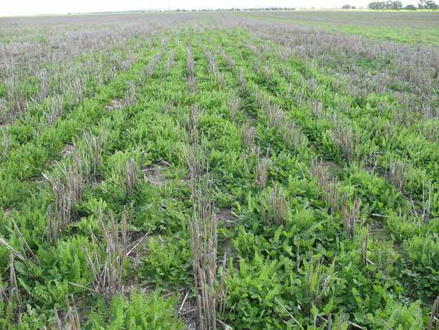 Trials have demonstrated potentially large benefits from twin sowing.