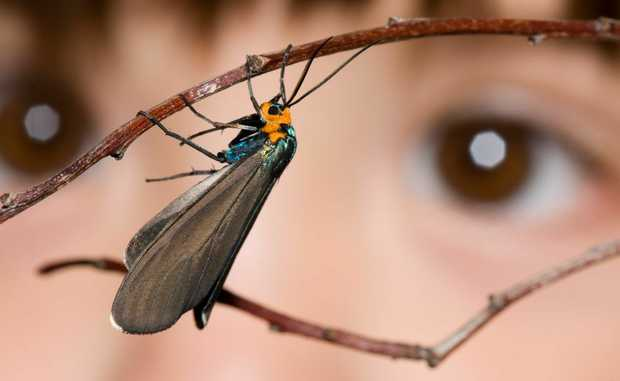 The Bugs Alive exhibition kicks off today at Cobb and Co Museum.