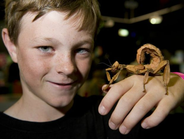 Ryan Moody gets close to a spiny leaf insect at the Bugs Alive school holiday program at Cobb and Co Museum.