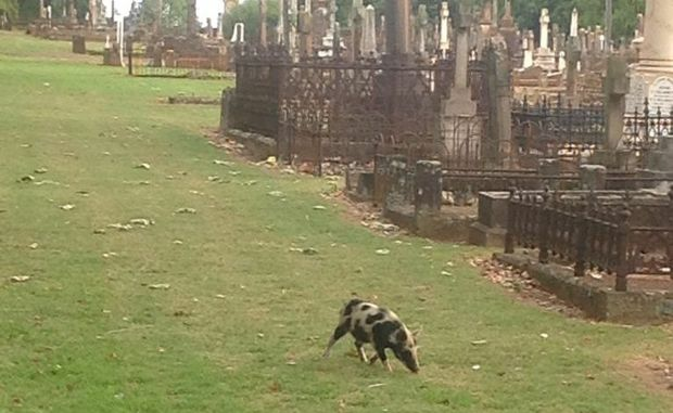 A Chronicle reader snaps a photograph of the rogue pig in the cemetery.