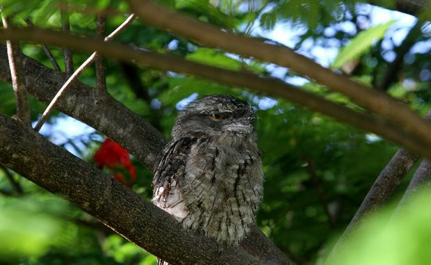 A Tawny Frogmouth Owl in Suburaban Coolangatta Photo Blainey Woodham / Daily News