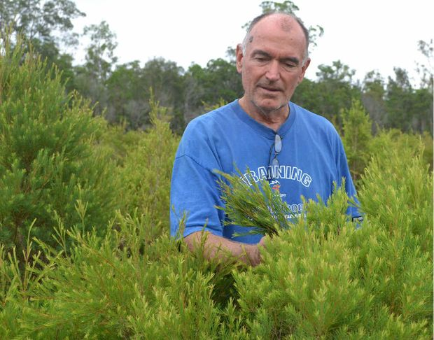 HEAT RESISTANT: Trevor Roberts of Forest Glen Organic Farm inspects his tea tree crop which thrives on long hot spells of weather.