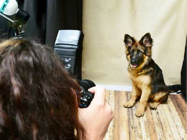 German shepherd puppy Max poses for photographer Tara Goulter at Brassall Veterinary Surgery.