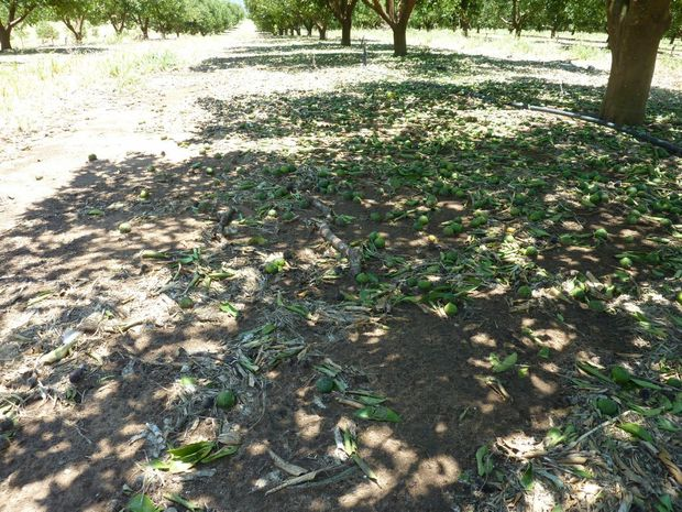 TRAIL OF DESTRUCTION: Hail storms stripped trees of fruit, leaves and branches, as well as damaging irrigation systems.