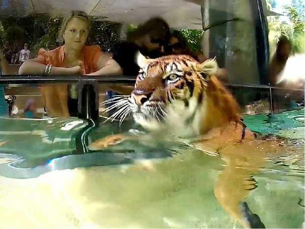 Tigers at Australia Zoo enjoy a dip in the pool in front of an enthusiastic crowd yesterday.