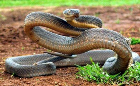 A brown snake, similar to this one, was sighted at the entrance of Karingal on Saturday.
