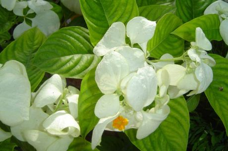 The white mussaenda.