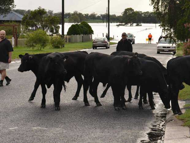 ON THE MOVE: Helpers move cattle, owned by Ross Clarkson, up Little Pratten St, Warwick, away from the Condamine River flood in East Warwick at 6.30am Monday.