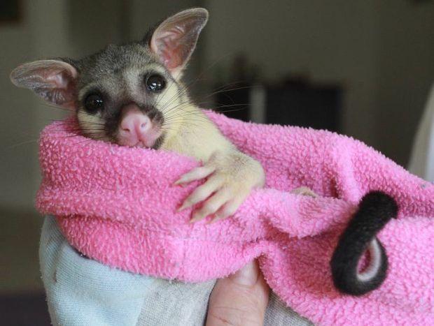 'Mimi' the baby brushtail possum.