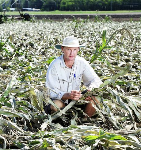 WASHED AWAY: Kalbar farmer Ed Windley with a field sweet corn ruined by the wild weather earlier this week.