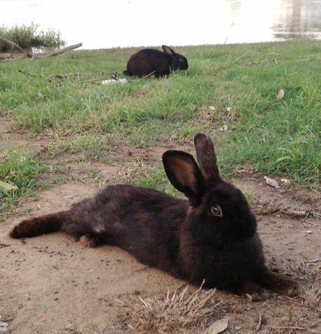 LOST: The rogue rabbits discovered at the flooded Goodna boat ramp.