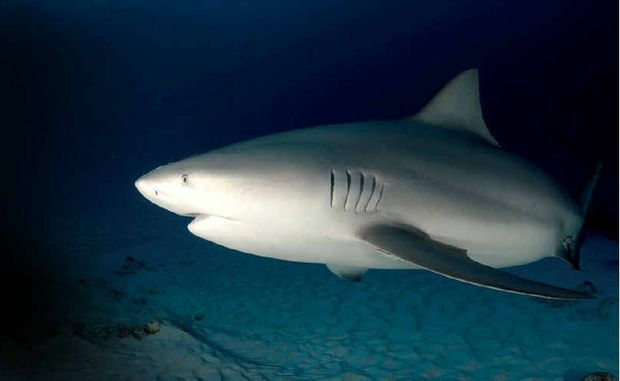 BRETT HYDE: Bull sharks in particular don't mind the dirty water, so this is the time to avoid swimming ... it will be at least two weeks before we start seeing some clean water.