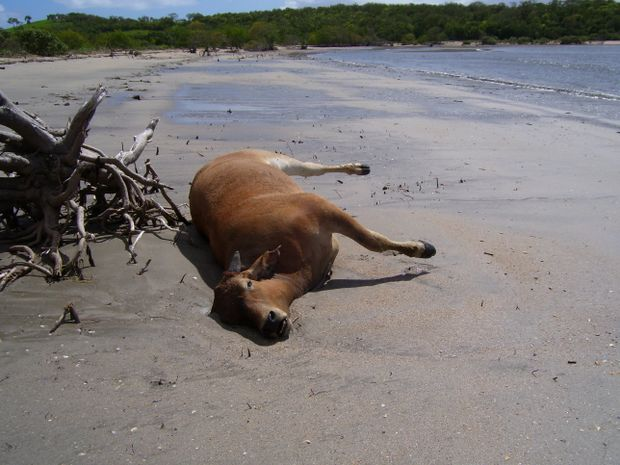 A dead beast at a Zilzie beach