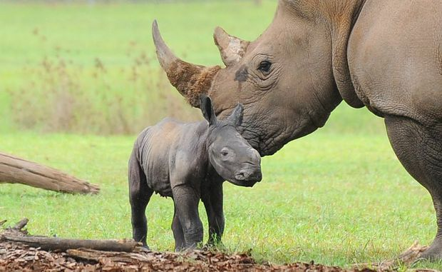 A RHINO has been born at Australia Zoo.