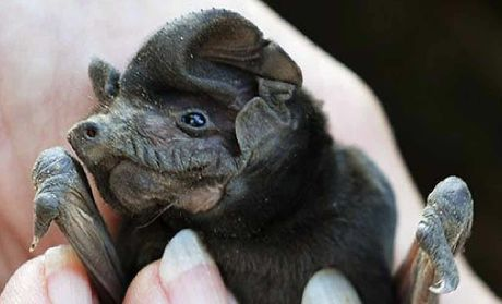 SAFE HANDS: This microbat was rescued from a fallen tree branch in Leslie Park, Goodna.