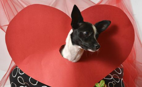 Alice is looking for eternal love this Valentine's Day. There will be 20% off all adoptions at AWLQ Ipswich on February 14. Photo: Claudia Baxter / The Queensland Times