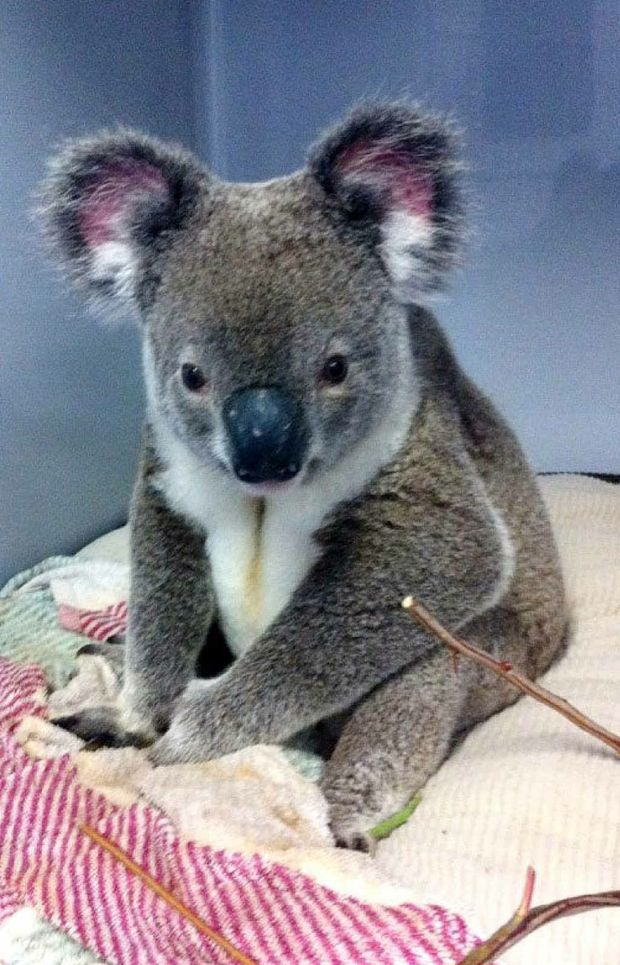 GRIM FUTURE: A male koala at the RSPCA Wildlife Hospital suffering from the retrovirus. The virus has escalated in Ipswich.