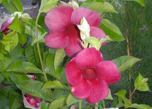 Allamanda is a woody evergreen shrub or vine with trumpet shaped flowers.