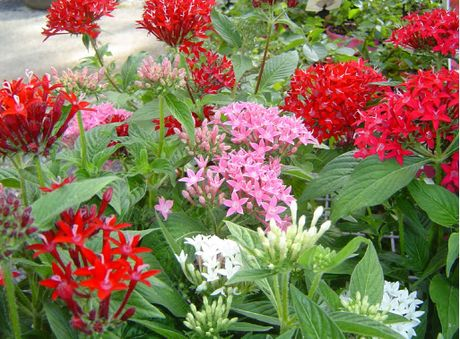 Pentas has dozens of small star shaped flowers.