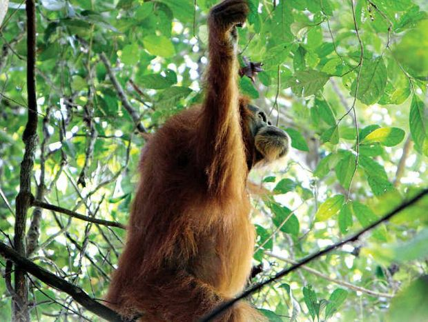 An orang-utan in northern Sumatra.