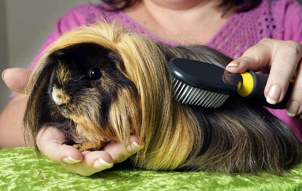 HIGHLIGHT OF THE SHOW: Maree Alchin grooms Fergie the guinea pig ahead of the Ipswich Cavy Club show tomorrow.
