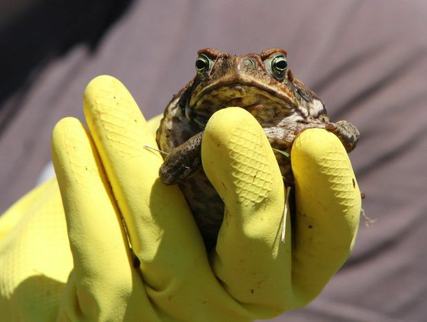 Toads Day Out in Rockhampton. Photo Sharyn O'Neill / The Morning Bulletin