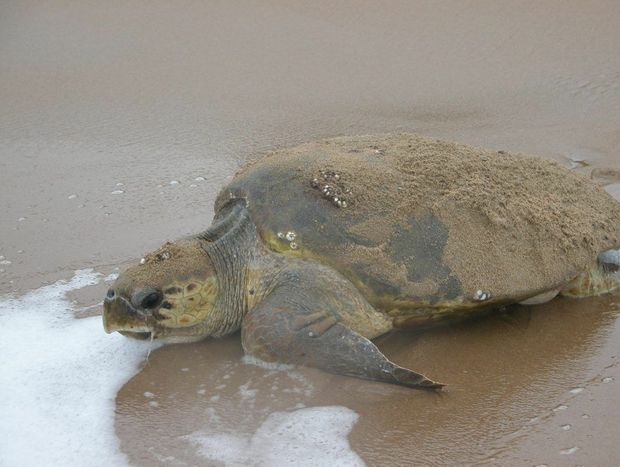 TURTLES' TOUGH TIMES: Huge seas and tides washed away many of the loggerhead turtle nests.
