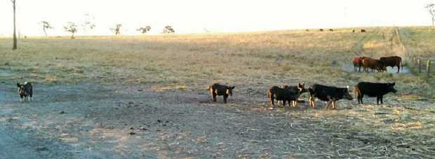 PIGGY PROBLEM: Feral pigs on a grazing property at Gin Gin.