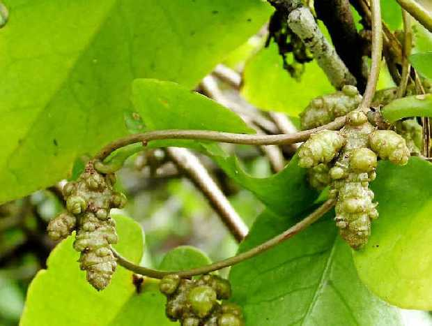 PUBLIC ENEMY: Madeira Vine produces masses of aerial tubers.