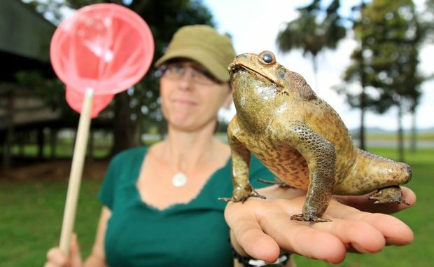 Pam Gray, the council's invasive species officer, with a cane toad.