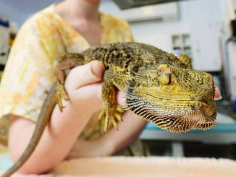SPECIAL PATIENT: RSPCA wildlife vet nurse Madeline Rienecker with bearded dragon Dexter who will undergo radiation treatment to stop a tumour growing above hi