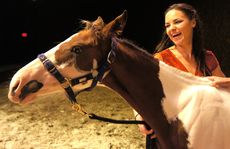 Six-month-old Brisbane foal Showman is ready for his theatrical debut in Cavalia.