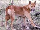 Wild dog baiting program begins at Cudgen