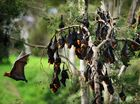Council looks to shock flying foxes out of Highfields