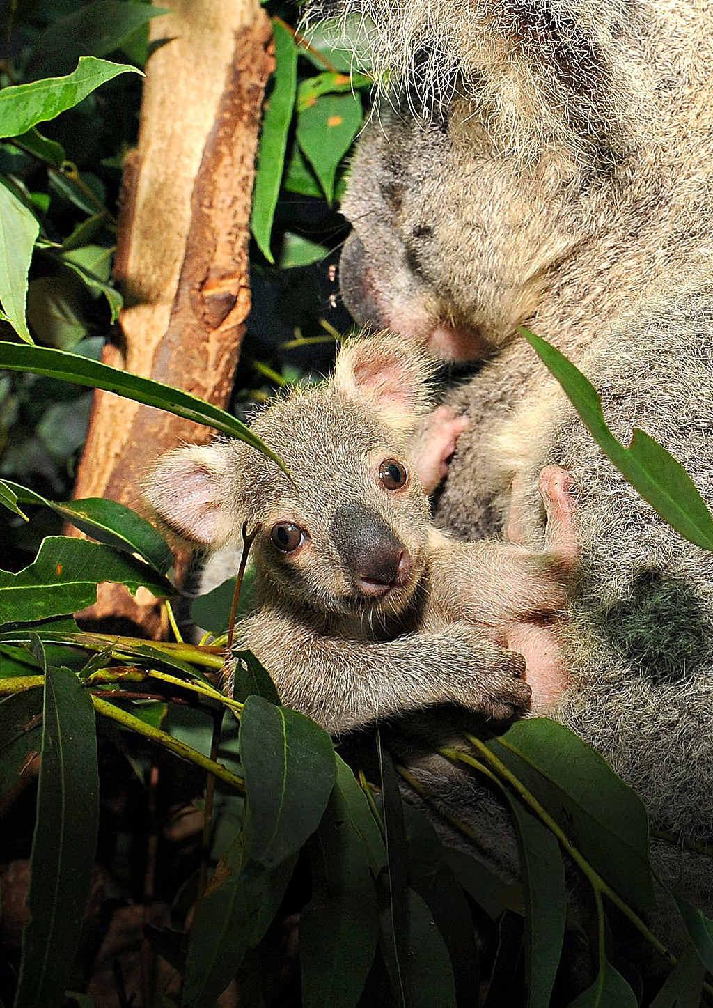 History of Koalas  Australian Koala Foundation